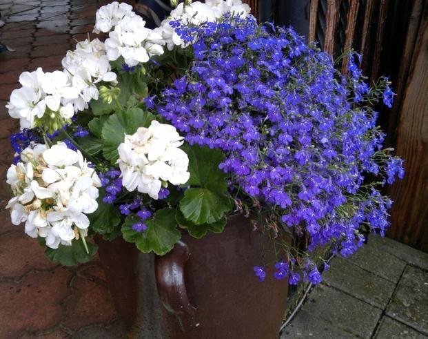 Kwiaty Balkonowe Lobelia W Roznych Kolorach Container Flowers Plants Flowers