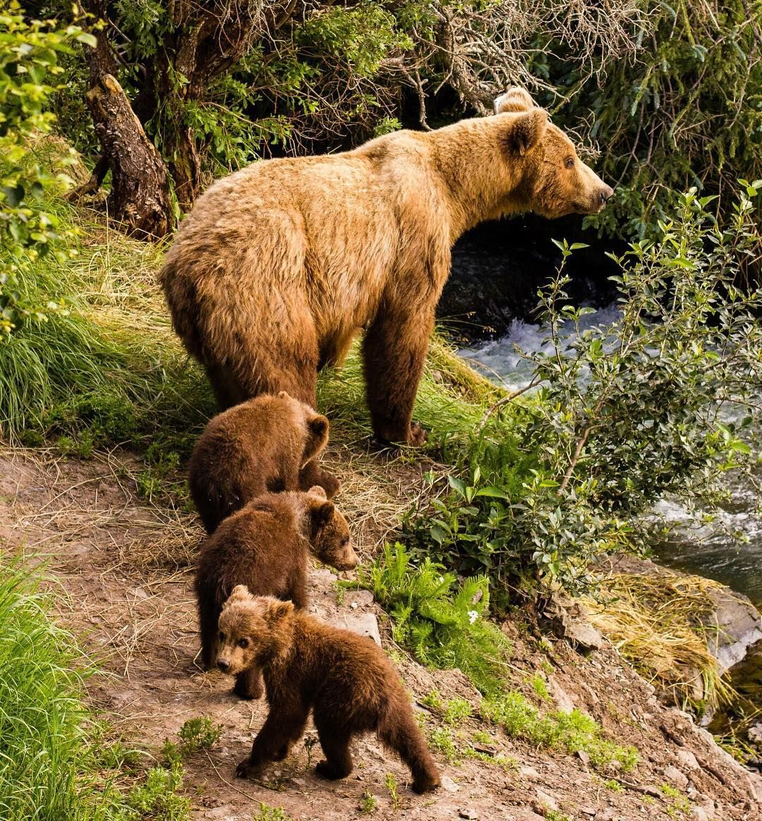 When Temperatures Warm Up And Food Is Available Brown Bears Slowly Begin To Leave Their Dens