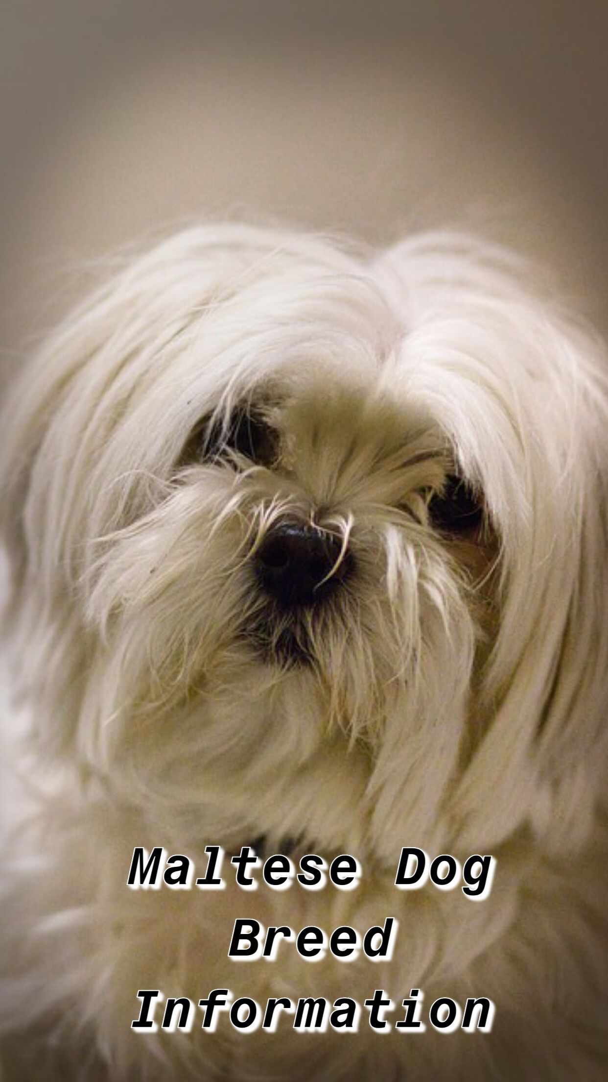 Maltese Terrier Puppy Maltese Teacup Maltese Shitzu Maltese White