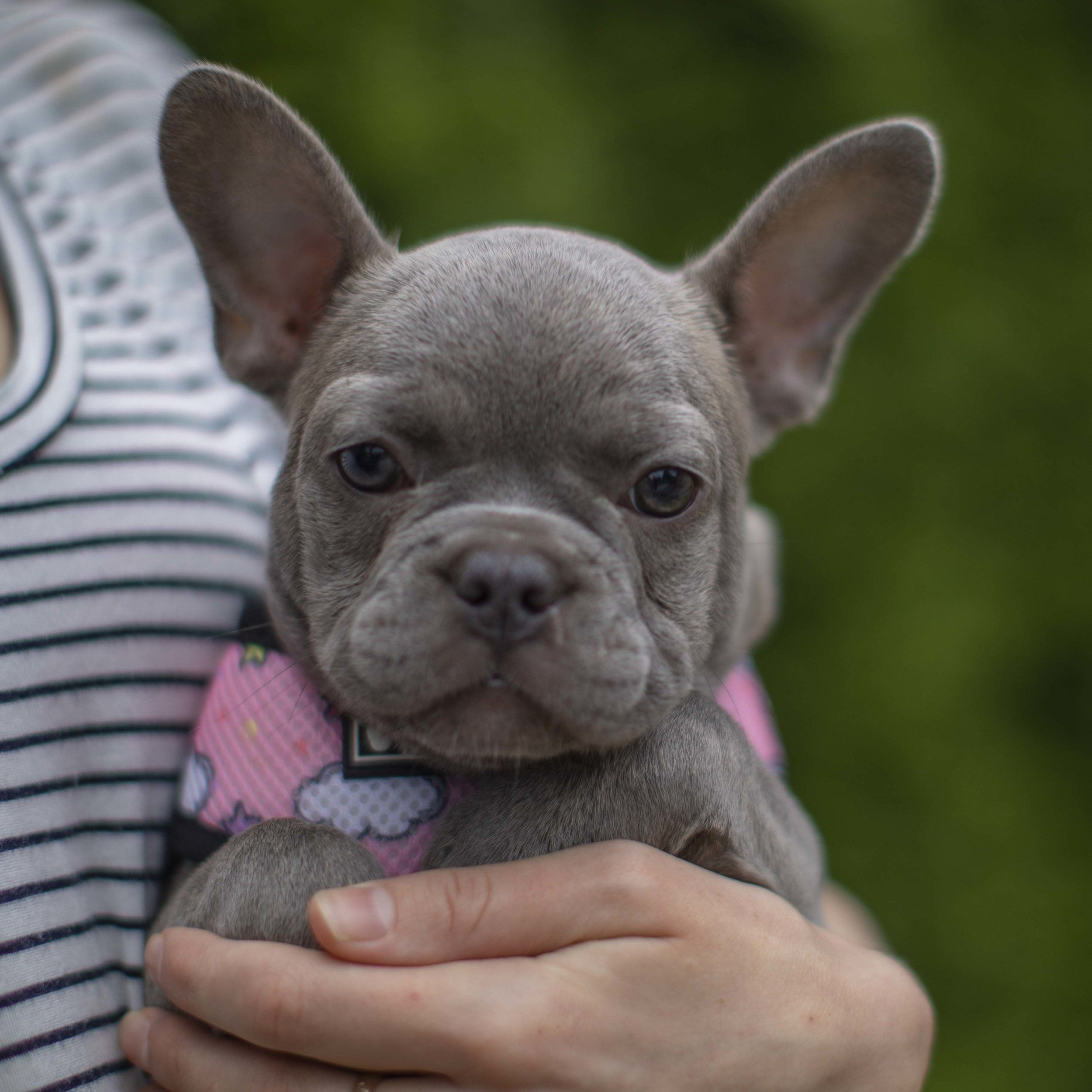 Nw Frenchies Lilac French Bulldog Www Nwfrenchies Com French