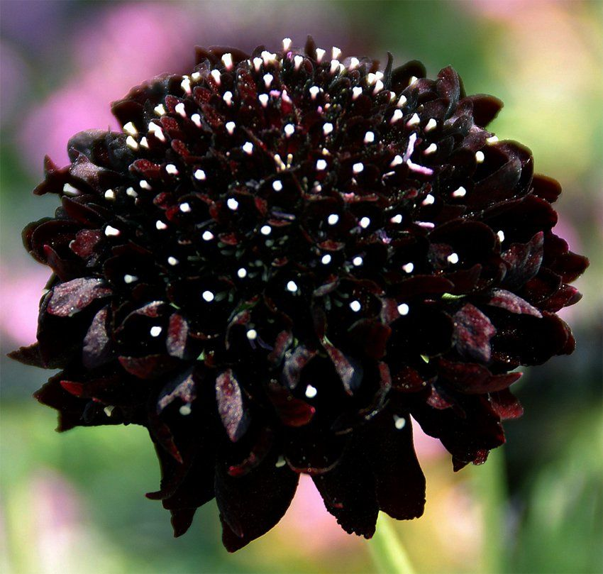 Pincushion+Flower+Sweet+Scabiosa+Black+Night+Scabiosa+atropurpurea+-+30+Seeds