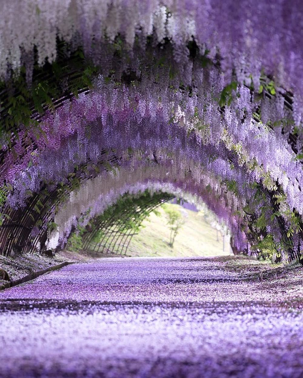 f254136aff1703fc254a4b2efcadf5cf - Wisteria Tunnel At Kawachi Fuji Gardens Kitakyushu Japan