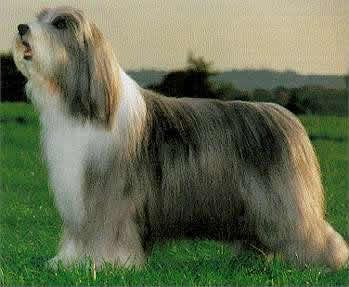 Bearded Collie Photo Bearded Collie Puppy Bearded Collies Dog
