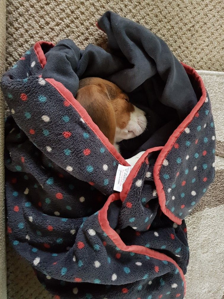 Snug as a bug Beagle puppy, Beagle dog, Cute animals