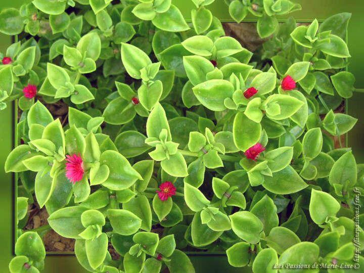 L Aptenia Est Une Plante Succulente Rampante Qui S Etale Jusqu A