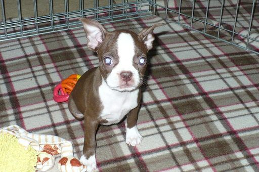Boston Terrier Puppy For Sale In Tucson Az Adn 40173 On