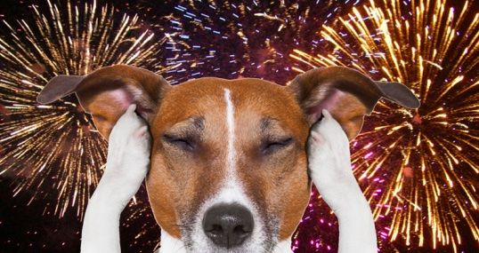 Is Your Dog Scared Of Fireworks Read Here For Tips Dogs Dogs