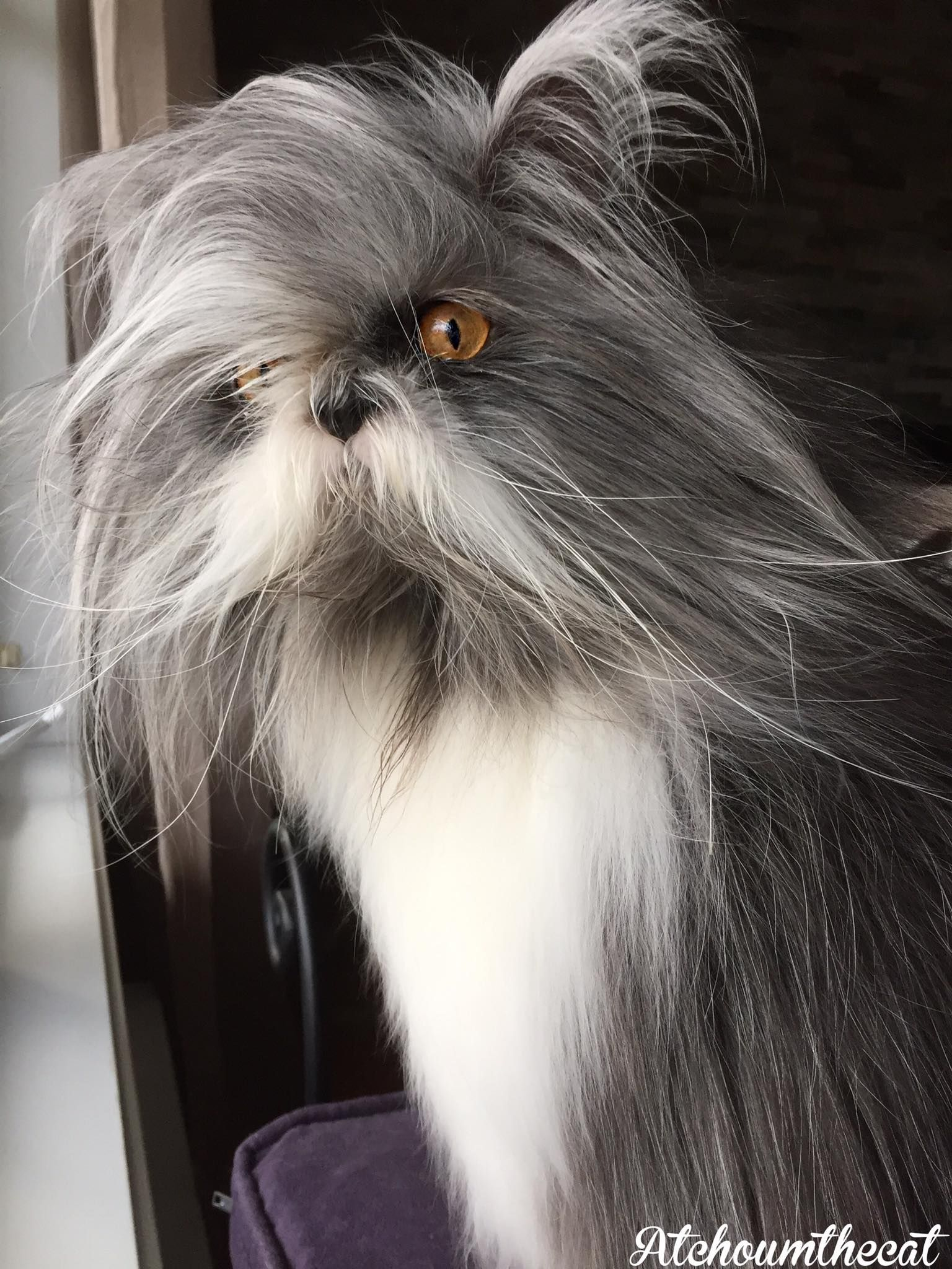 Atchoum the cat has werewolf syndrome his hair never