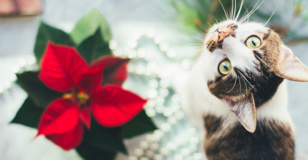 5 Cat Safe Alternatives To Popular Holiday Plants Cat Safe Kittens And Puppies Pets