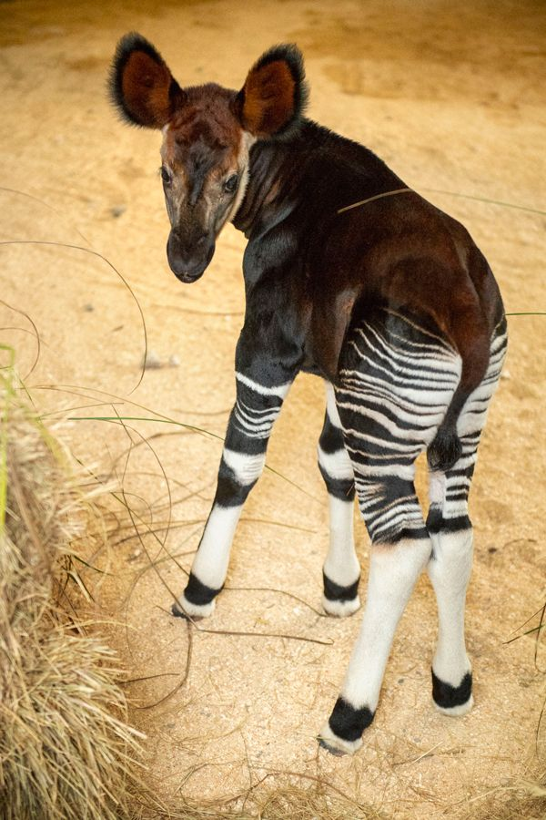 The Okapi Population Gets a Boost at Disney's Animal Kingdom Lodge #animalkingdom