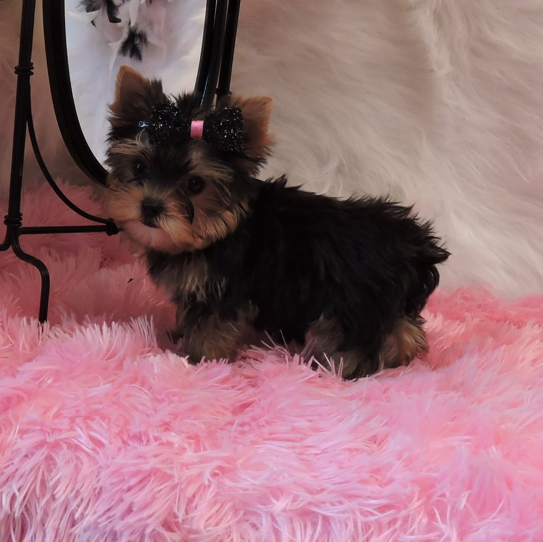 Adorable Puppies For Sale We Raise Adorable Yorkie And Maltese Puppies Tiny Teacup Yorkie Puppies F Yorkie Puppy Teacup Puppies For Sale Teacup Yorkie Puppy