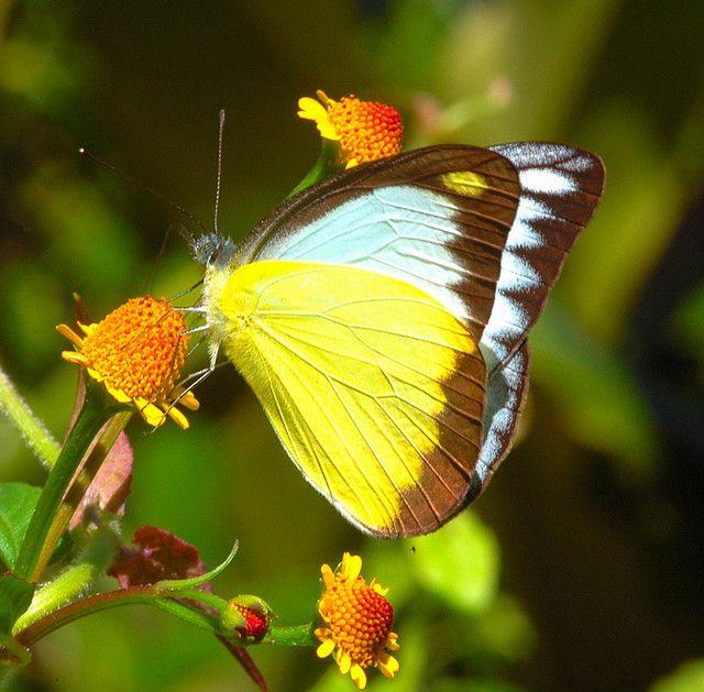 Chocolate Albatross Appias Lyncida Arunachal Pradesh Butterfly Photos Beautiful Butterflies Types Of Butterflies