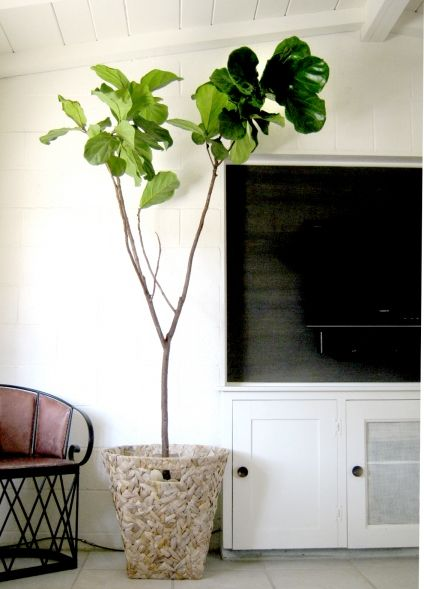 Fiddle Leaf Fig Tree | Plant Obsession | Pinterest | Fiddle leaf ...