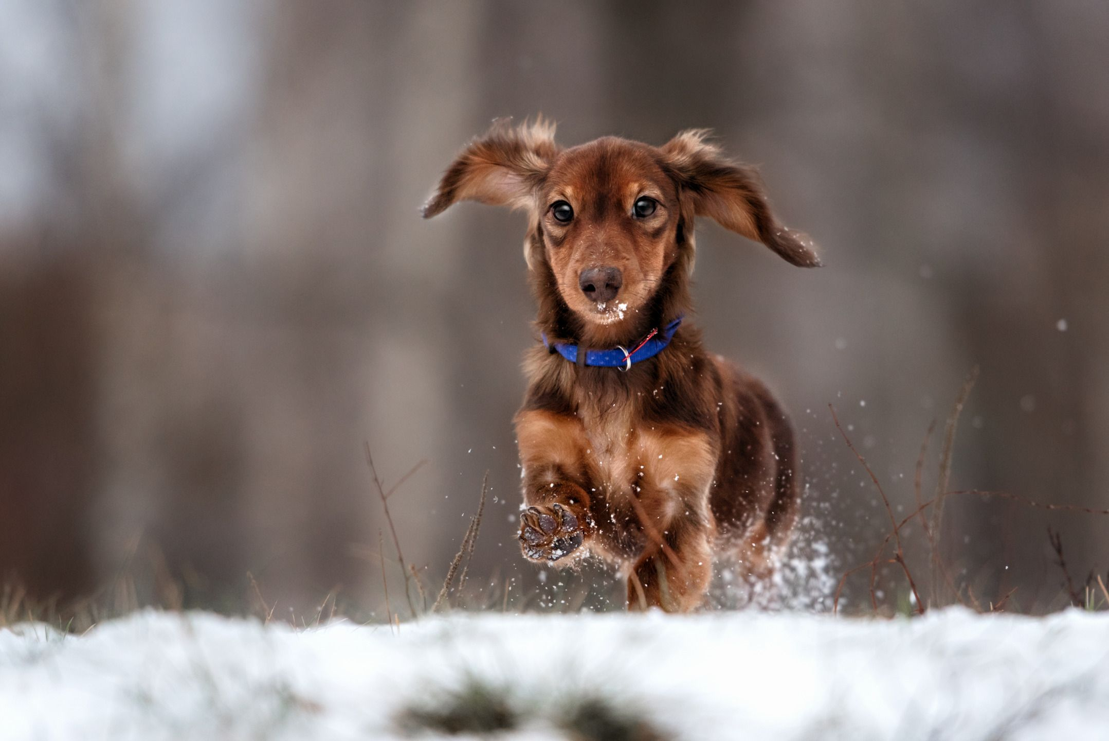 Happy Dachshund jumps up in winter park Dogs, Funny dogs