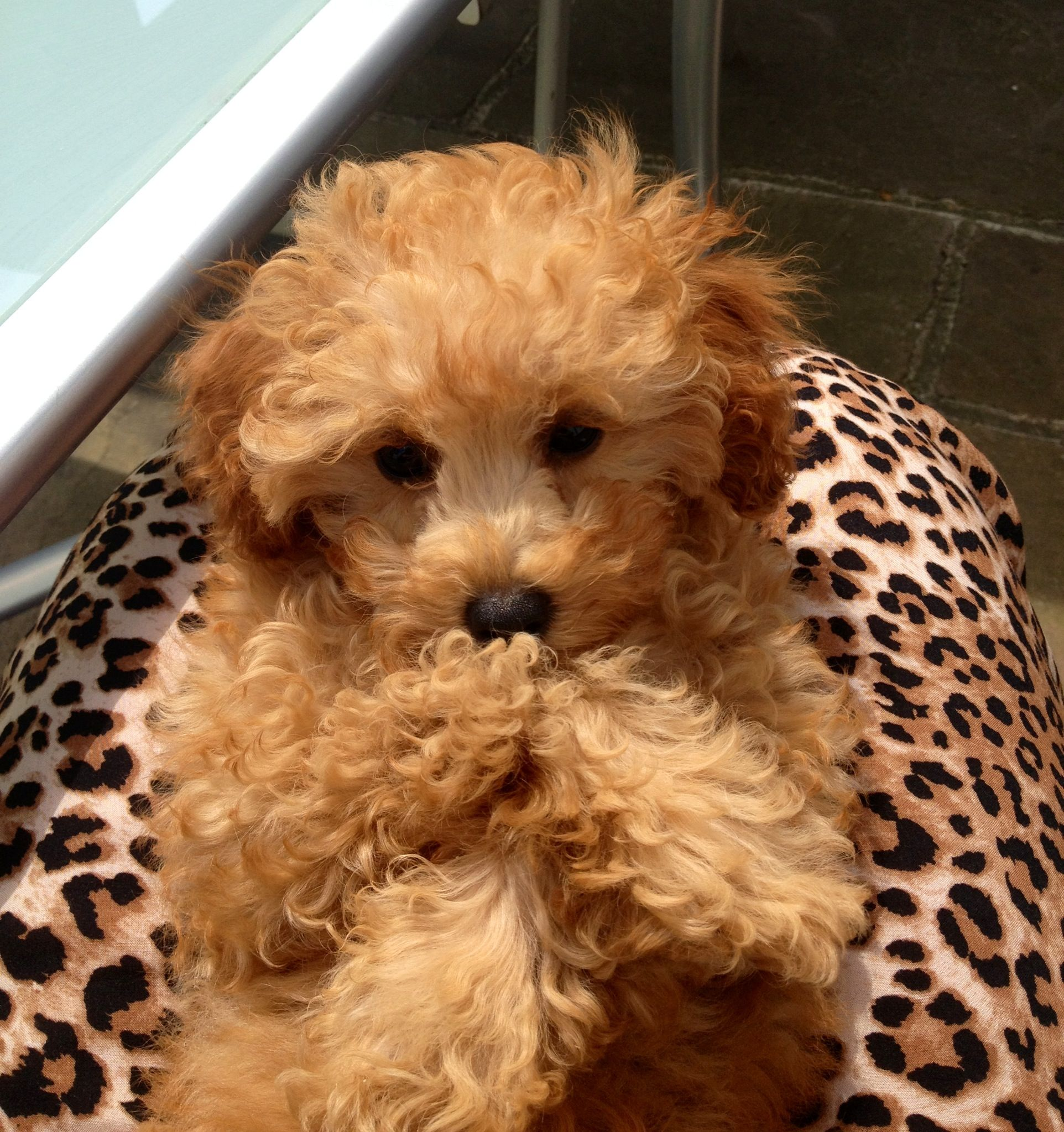 Apricot Toy a Poodle Puppy - Ellie at 12 weeks old