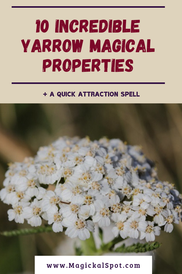 10 Incredible Yarrow Magical Properties A Quick Attraction Spell Magic Herbs Magical Herbs Magical Herbs Witchcraft