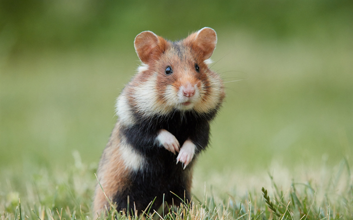 Download wallpapers small hamster, cute funny animals