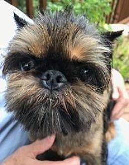 Omaha Ne Brussels Griffon Meet Minnie A Dog For Adoption