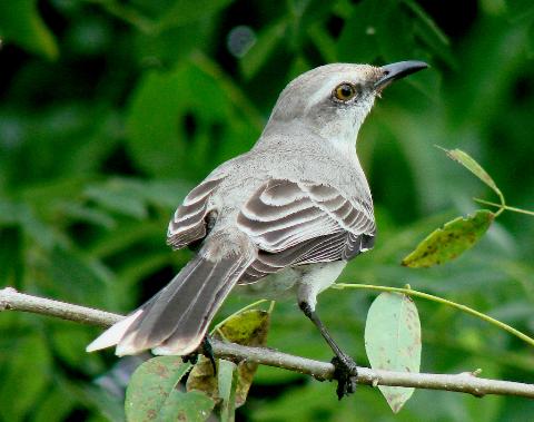 Amo El Canto Del Cenzontle Pajaro De 400 Voces Bird Photography Animals Animal Kingdom
