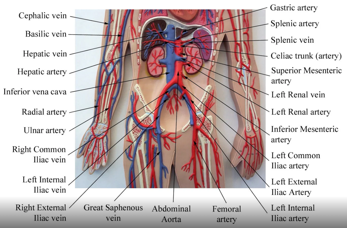 Systemic Arteries | Products | Pinterest | Anatomía y Abdomen