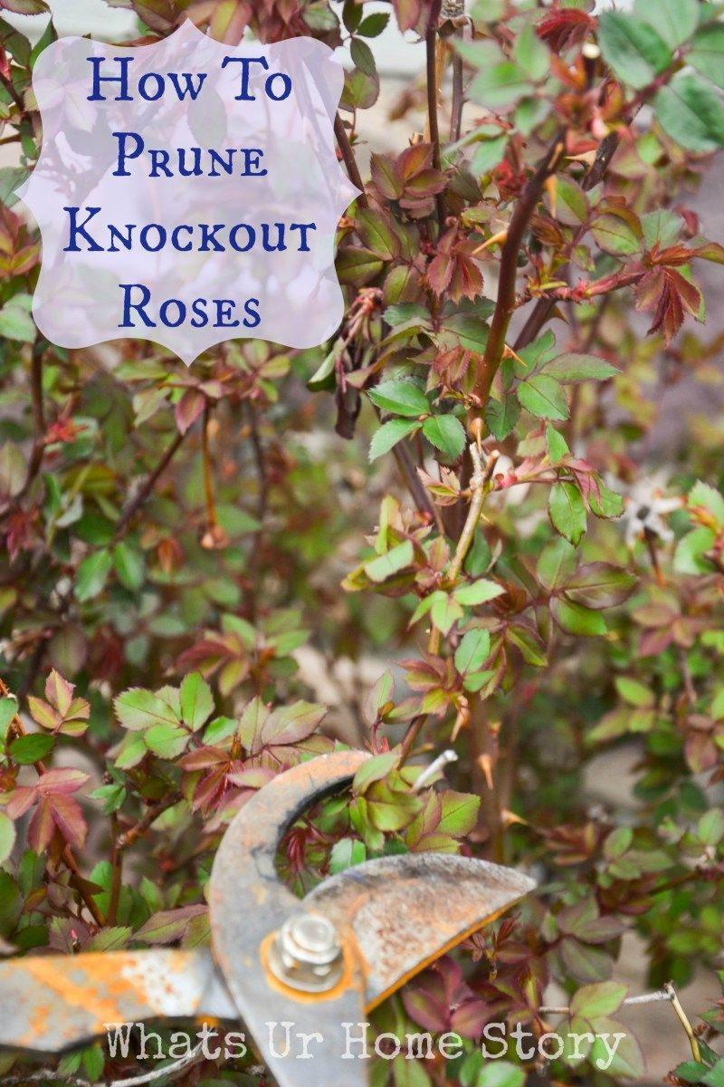 Pruning Knockout Roses Whats Ur Home Story Knockout Roses Pruning Knockout Roses Plants