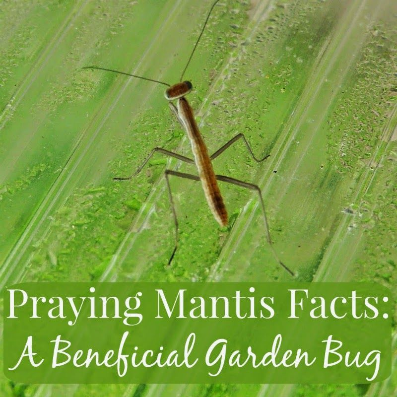 Praying Mantis Facts A Beneficial Garden Bug Praying Mantis Garden Bugs Praying Mantis Life Cycle