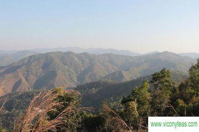 TeaSeek: The Story About Mansong Pu Erh Of Yibang Tea Mountain (1)
