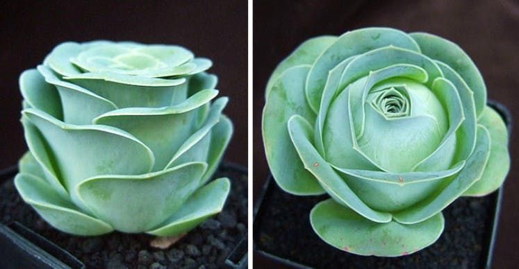 Rose Succulents Are The Magical New Plant To Add To Your