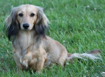 Beautiful Markings On The Cream Coated Hair Longed Dachshund