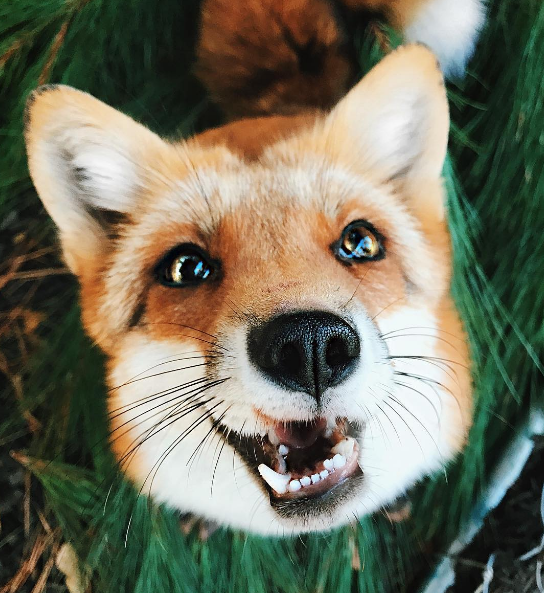 I Just Can T Get Enough Of Foxes Pet Fox Cute Animal Photos Cute Animals