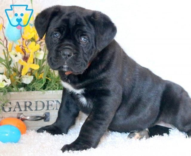 Trooper Animals Beautiful Cane Corso Puppies Puppies Cane Corso