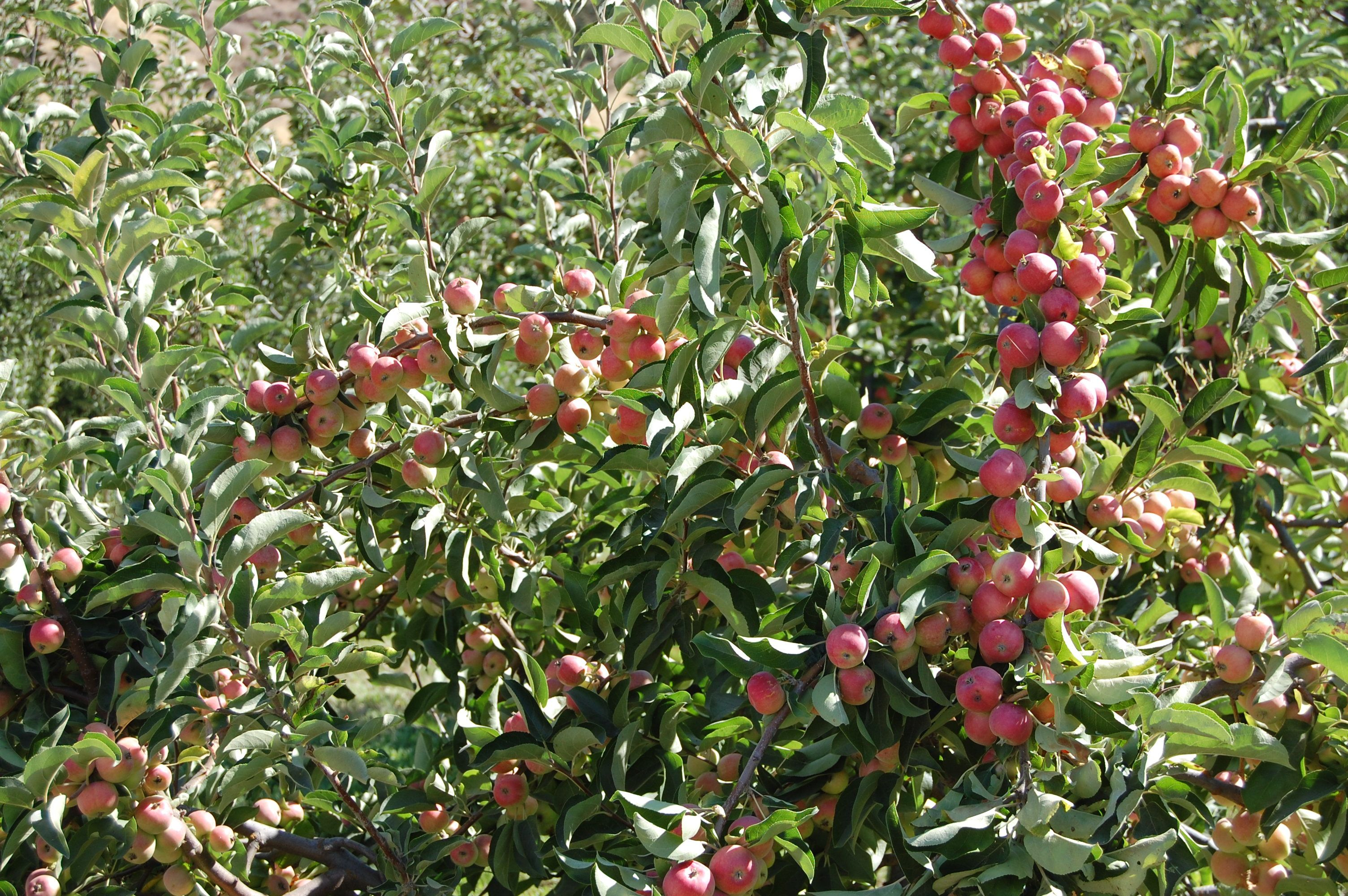 Heirloom Fruit Trees For Home Farm Trees Of Antiquity Rooted Organic Fruit Tree Nursery Fruit Trees Growing Food