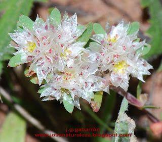 Naturaleza Viva: Caryophyllaceae - Paronychia argentea
