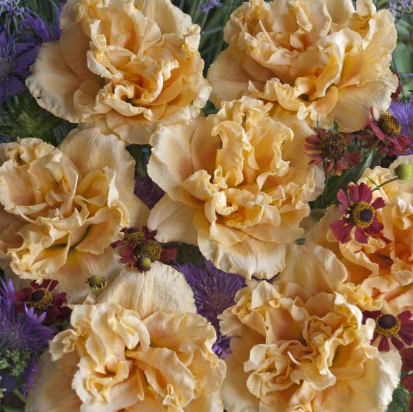 Walters Gardens Variety Hemerocallis Siloam Peony Display