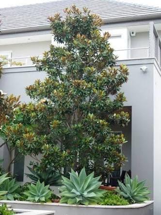 Image Result For Magnolia Little Gem In Pots Landscaping Ideas