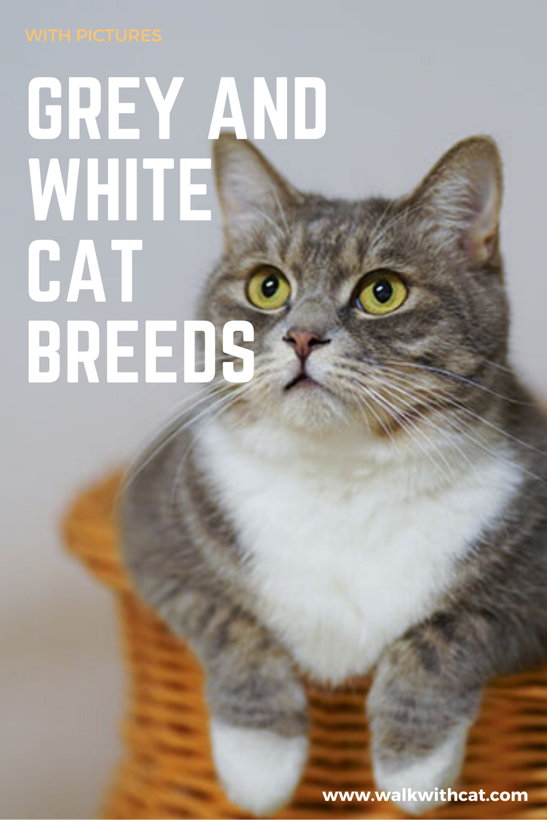11 Grey and White Cat Breeds With Pictures in