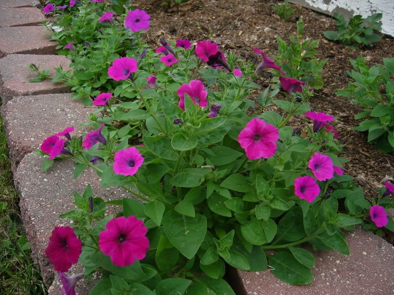 Laura Bush Petunia Person In 9b Said Bloomed All Year Petunia Flower Planting Flowers Petunias