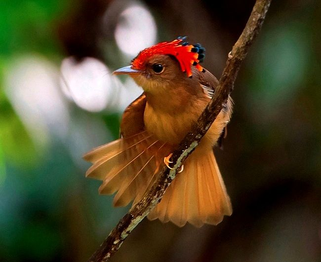 Royal Flycatcher (Onychorhynchus coronatus), found in the wilds of Central and South America, in the woodland and forest … | Flycatcher, Beautiful birds, Pet birds