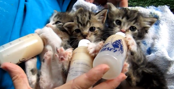 Baby Kittens Drinking Milk Png 558 285 Pixels Kittens Cutest Baby Kittens Kittens And Puppies