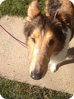 Powell, OH - Collie. Meet Jarrett, a dog for adoption. http://www.adoptapet.com/pet/14278398-powell-ohio-collie