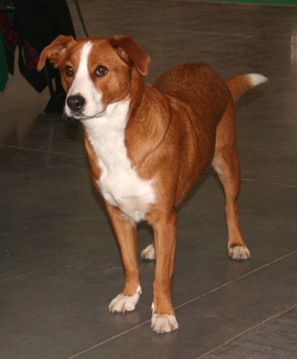 Osterreichischer Pinscher Dog Breeds Dogs Dog Photos