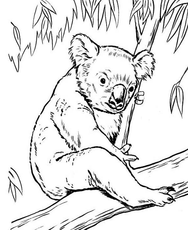 Koala Bear On Eucalyptus Tree Coloring Page