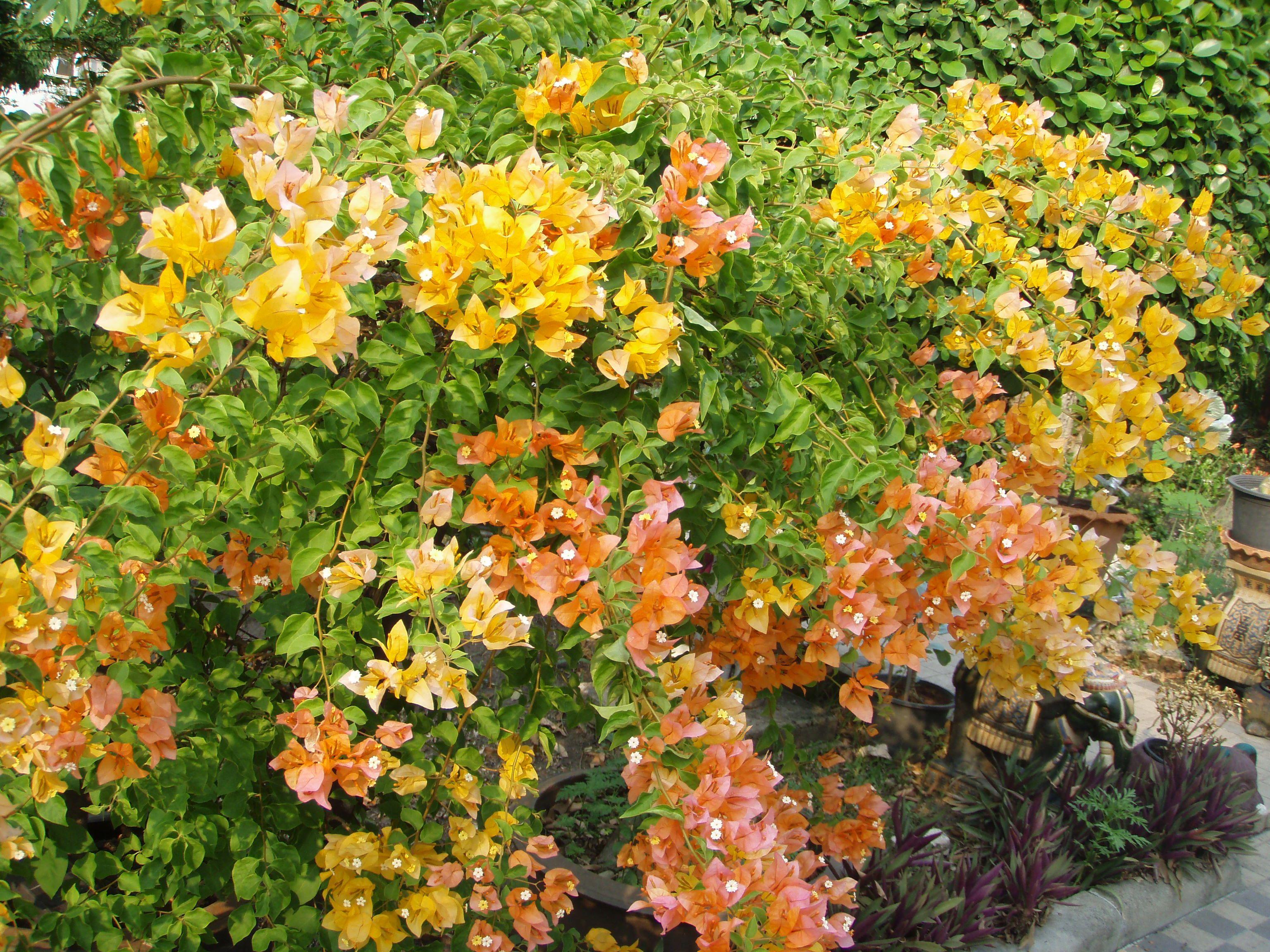 Pics For > Bougainvillea Flower Colors | Drought Tolerant Garden ...