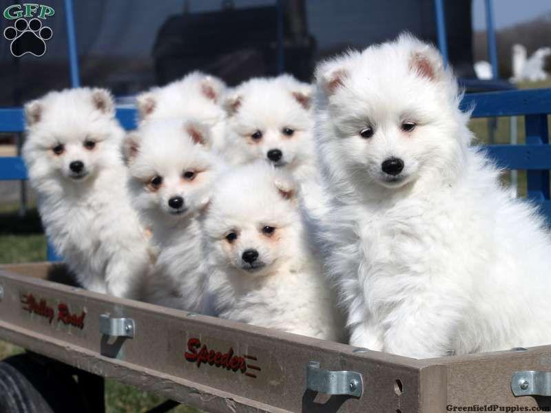American Eskimo Puppies For Sale In Pa American Eskimo Puppy
