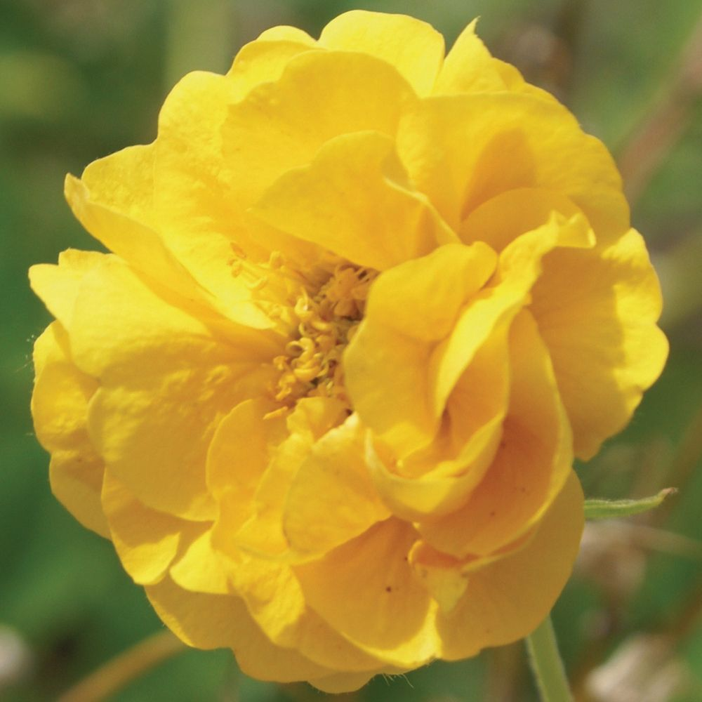 Geum Double Sunrise Avens Hardy Perennial A Cheerful New Geum With