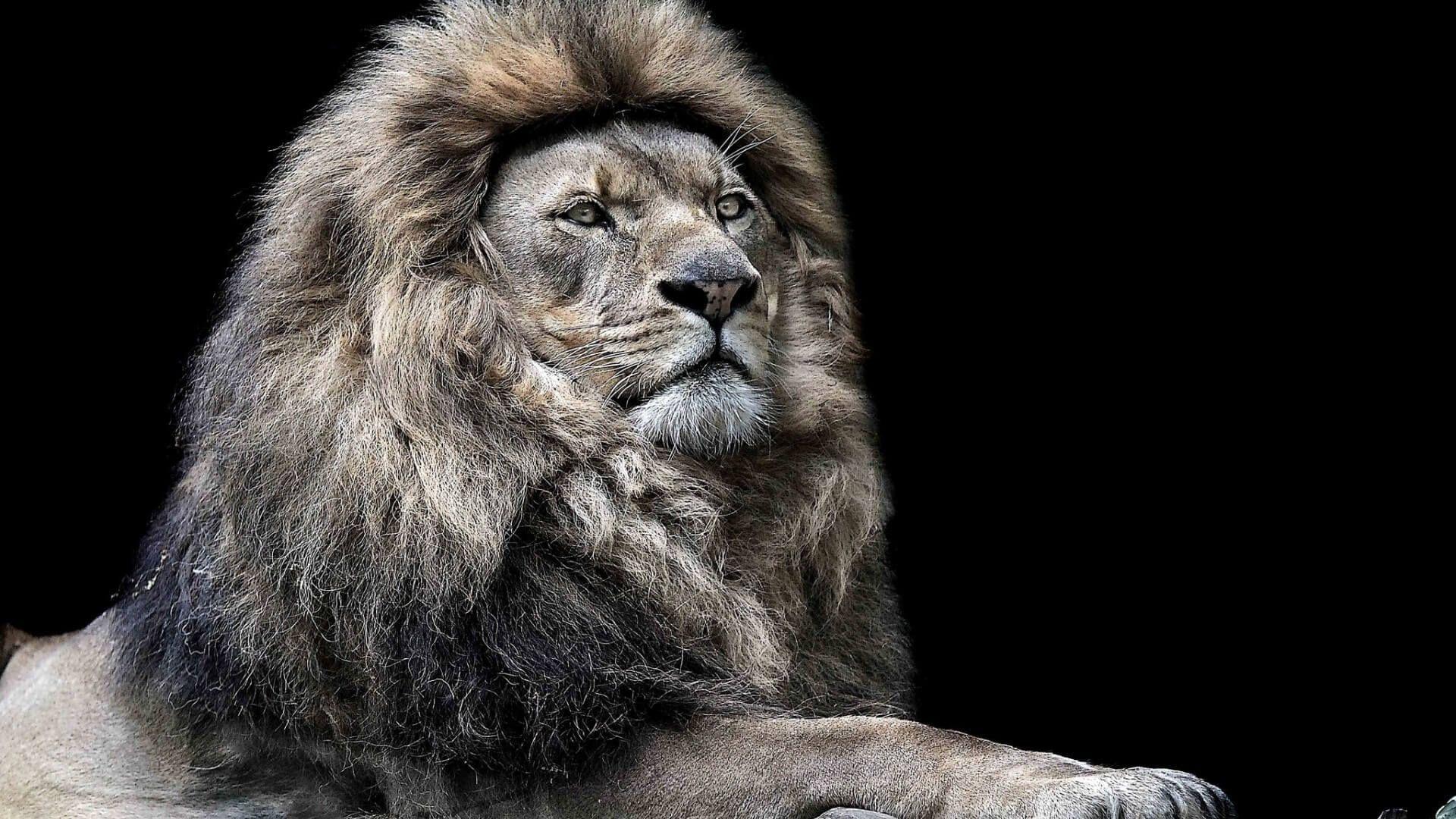 Unique Angry Lion Wallpaper Hd 1080p Di 2020