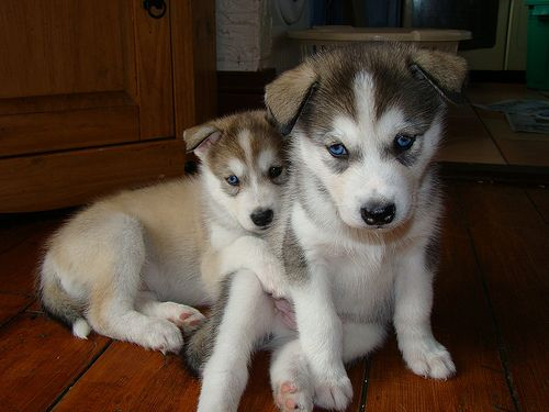 This is a photo of Koda and Kia my Puppy Shys brothers before they went to there new owners!!   Best Pet Insurance! http://www.offers.couponrainbow.com/embrace-pet-insurance/