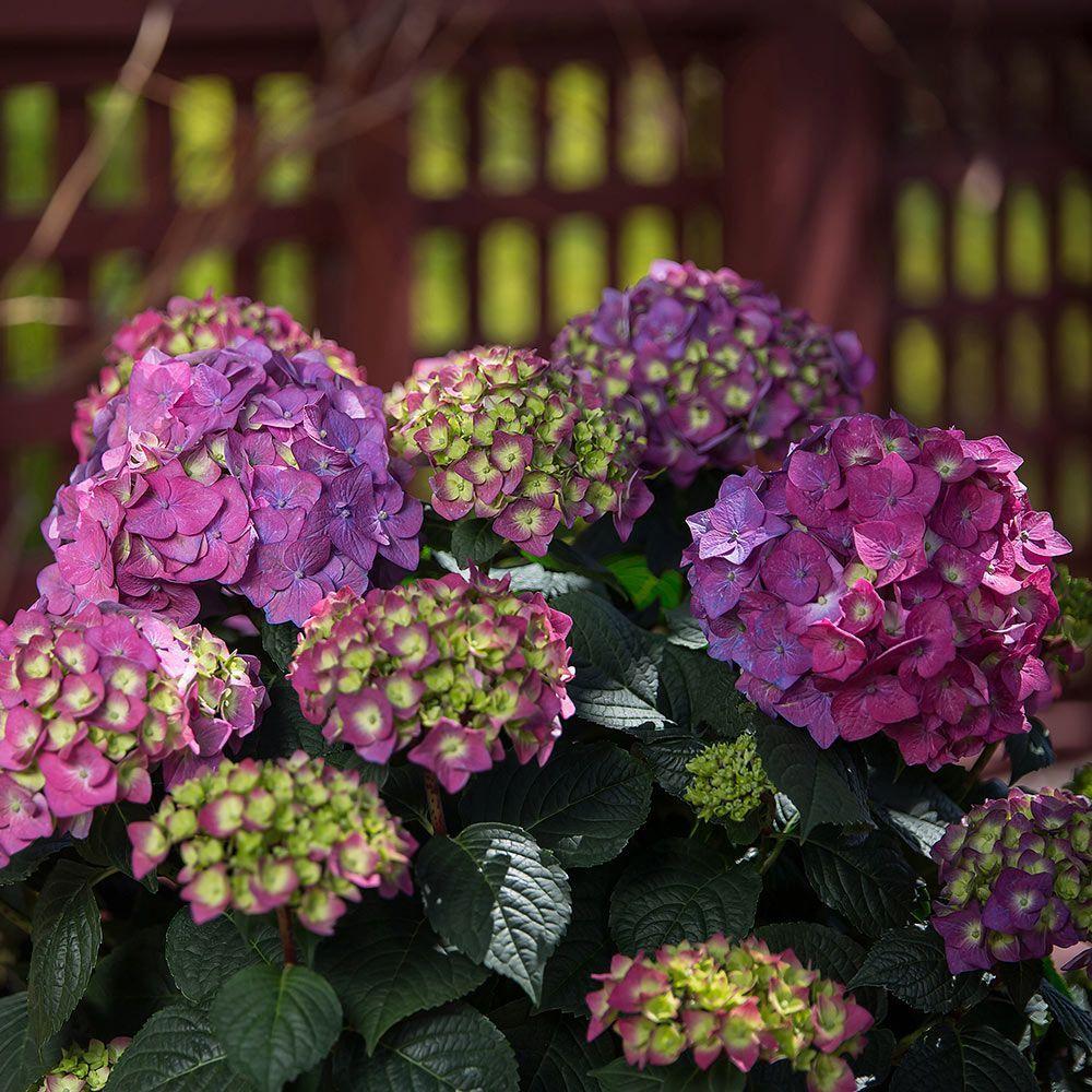 Hydrangea Macrophylla Endless Summer Summer Crush Hydrangea Varieties Plants Hydrangea Macrophylla