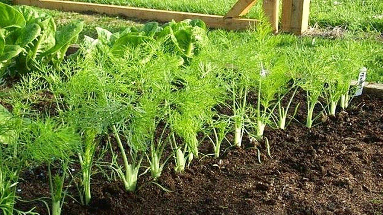 How to growing fennel gardening tips in 2020 garden