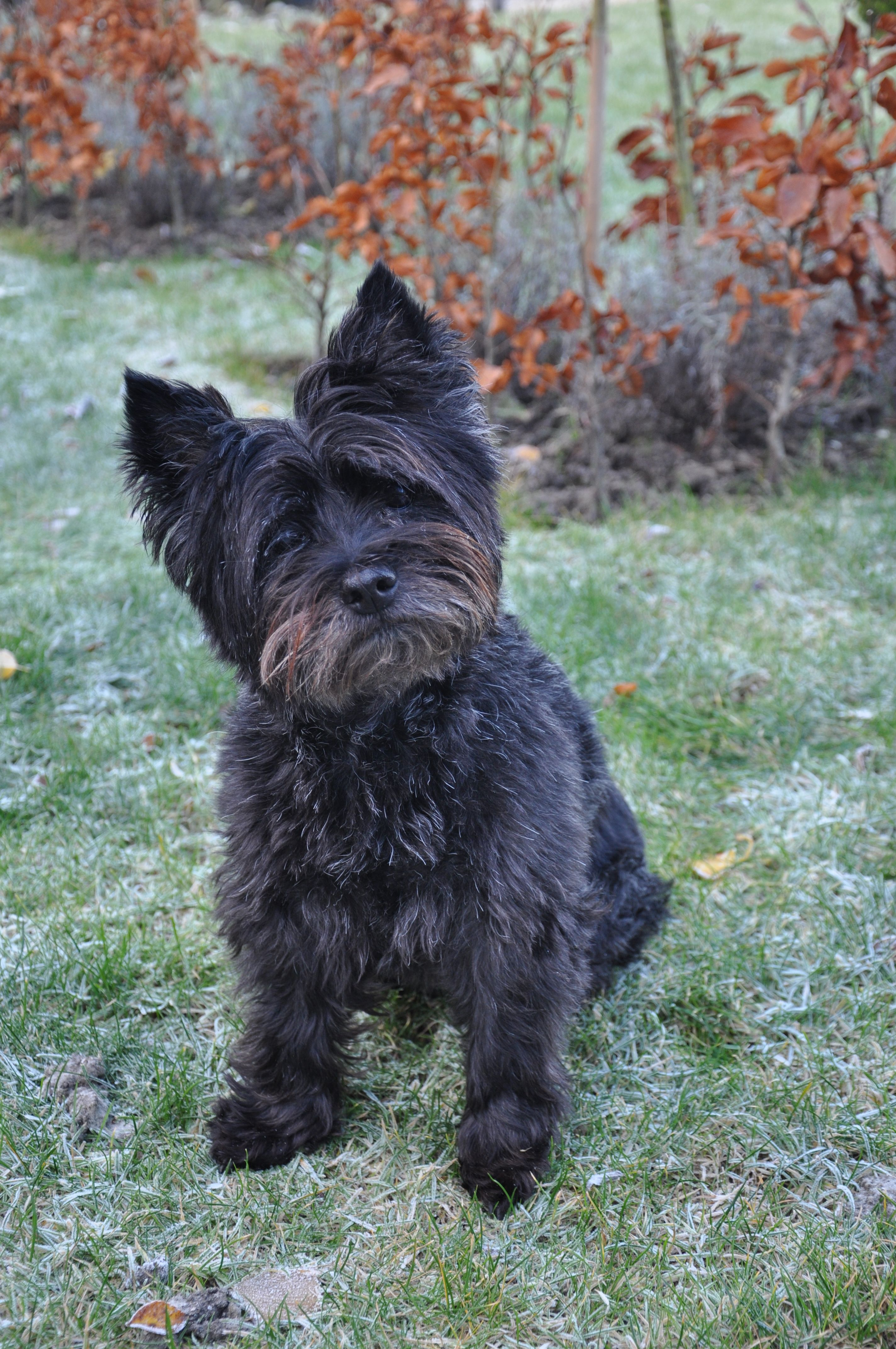 My Dog Floortje So Beautiful Cairn Terrier Puppies Terrier